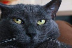 Cat Gaze Immagini Stock Libere da Diritti