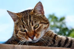 Cat Gaze Fotos de Stock Royalty Free
