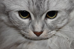 Cat Gaze Stock Photography