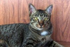 Cat gaze ducking on a wooden floor. Cat tabby gaze ducking on a wooden floor Royalty Free Stock Photos