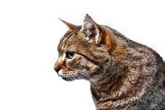Cat gaze. Cat kitten cats gaze isolated white background Royalty Free Stock Images