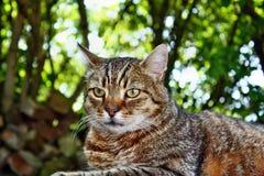 Cat gaze. Look beautiful gray striped cat Stock Photography