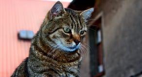 Cat gaze. Look beautiful gray striped cat Royalty Free Stock Photography