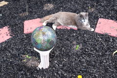 Cat and gazing ball. Grey and white cat resting in a garden with a gazing ball stock photography