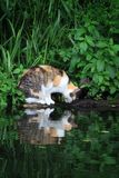 Cat Gazing In Water Royalty Free Stock Photos
