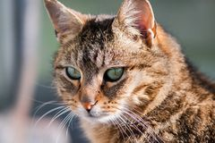 Cat gazing at prey on ground. Cat gazing at mouse on the ground. Close p shot Stock Photography