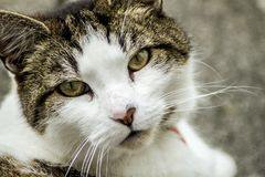 Cat gazing at the viewer. I find the gaze of this cat enchanting, almost as though its trying to communicate with a stare Royalty Free Stock Image