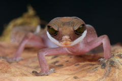 Cat gecko Royalty Free Stock Images