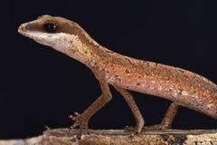 Cat gecko (Aeluroscalabotes felinus felinus) Stock Photography