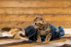 Cat gets out of the leg jeans Royalty Free Stock Images