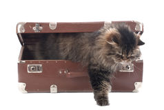 Cat gets out of an vintage suitcase Royalty Free Stock Image
