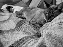 Cat getting cozy on wool blanket. Black and white of cat  snuggling wool blanket with puppy sleeping in background on couch Royalty Free Stock Image
