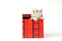 Cat in gift box Stock Photography
