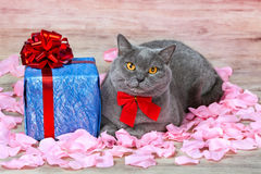 Cat and the Gift Box. Cat sitting on the rose petals near gift with red ribbon stock photography