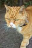 Ginger cat. With green eyes Stock Image