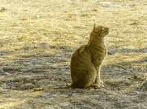 Cat. A ginger mixed breed cat Royalty Free Stock Images