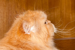Cat. Ginger red cat with long whiskers looking to its side Stock Image