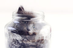 Cat in a glass jar. Little cat plays in a jar Stock Images