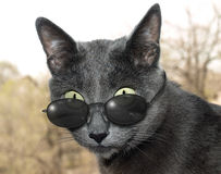 Cat with glasses Royalty Free Stock Image