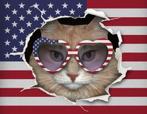 Cat in glasses behind the flag of America stock images