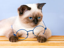 Cat with glasses Stock Images