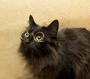 Cat with glasses Stock Image