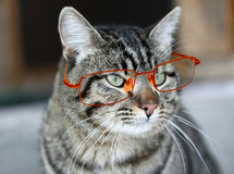 Cat in glasses Royalty Free Stock Photos