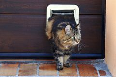 A cat goes through a cat flap. Norwegian Forest Cat in front of a Cat Flap.  royalty free stock photography