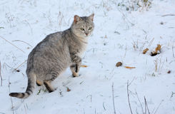 Cat goes on snow Royalty Free Stock Photo