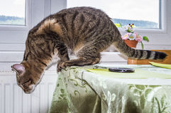 Cat going to jump down from a table top. A cat looking downwards from an edge of a table shot in a pose just about to jump down royalty free stock photo