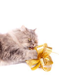 Cat and gold bow Royalty Free Stock Image