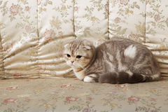 Cat on a gold couch Royalty Free Stock Images