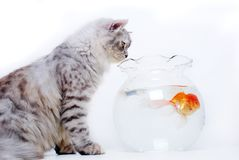 Cat and gold fish stock photo