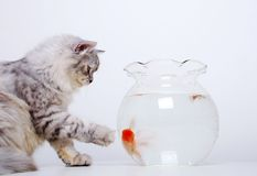 Cat and gold fish. Concept - Cat and gold fish Royalty Free Stock Image