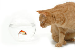 Cat and gold fish. Cat is lokking at a fish in a bowl. Note the fish is still alive and in well being Royalty Free Stock Image