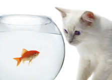 Cat and a gold fish. On white background Stock Images