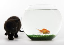 Cat & Gold fish. Cat - the small furry animal with four legs and a tail; people often keep cats as pets Royalty Free Stock Photography