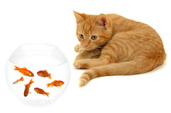 Cat and gold fish. Kitten is watching fish in a fish bowl Stock Image