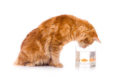 Cat and a gold fish. Maine coon kitten 9 months old, isolated over white Royalty Free Stock Photos