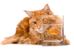 Cat and a gold fish. Maine coon kitten 9 months old, isolated over white Stock Image