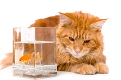 Cat and a gold fish. Maine coon kitten 9 months old, isolated over white Royalty Free Stock Photo