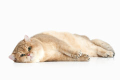 Cat. Golden british cat on white background Royalty Free Stock Photos