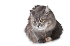 Cat with golden eyes Royalty Free Stock Photo