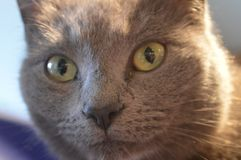 Cat With Golden Eyes Looking en usted foto de archivo