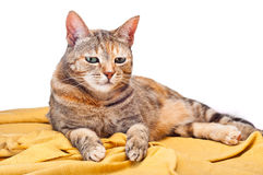 Cat on Golden Fabric Royalty Free Stock Photo