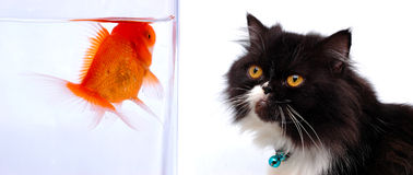 Cat and goldfish. Cat looking at gold fish Royalty Free Stock Images