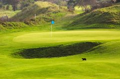 Cat on golf course. Golf course landscape with cat walking on the green Royalty Free Stock Photography