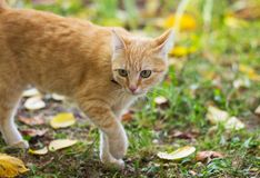 Cat gone for a walk Stock Photography