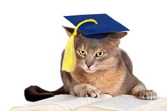 Cat in graduation cap. Abyssinian cat in graduation cap isolated on white royalty free stock images