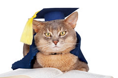 Cat in graduation cap and gown. Abyssinian cat in graduation cap and gown isolated on white Royalty Free Stock Images
